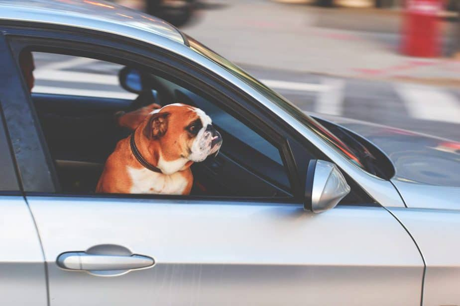 dog keeping Cool In A Car