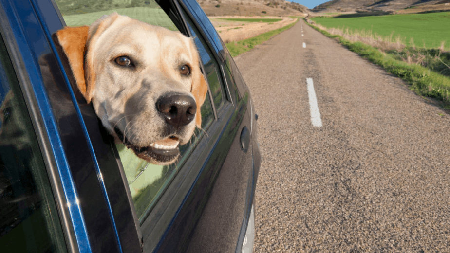 Dog traveling in the safest way to ride in car