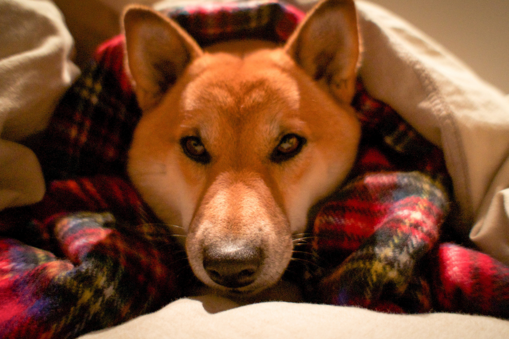Dog wrapped up in outdoor dog Bedding in the winter
