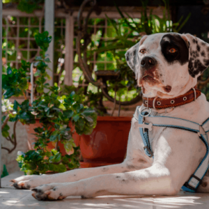 Can A Dog Wear A Collar And A Harness? Is It Safe?