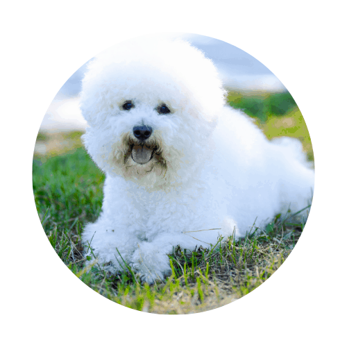Bichon Frise breed that can fly in the cabin