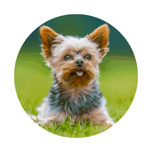 Yorkshire Terrier that can fly in the cabin
