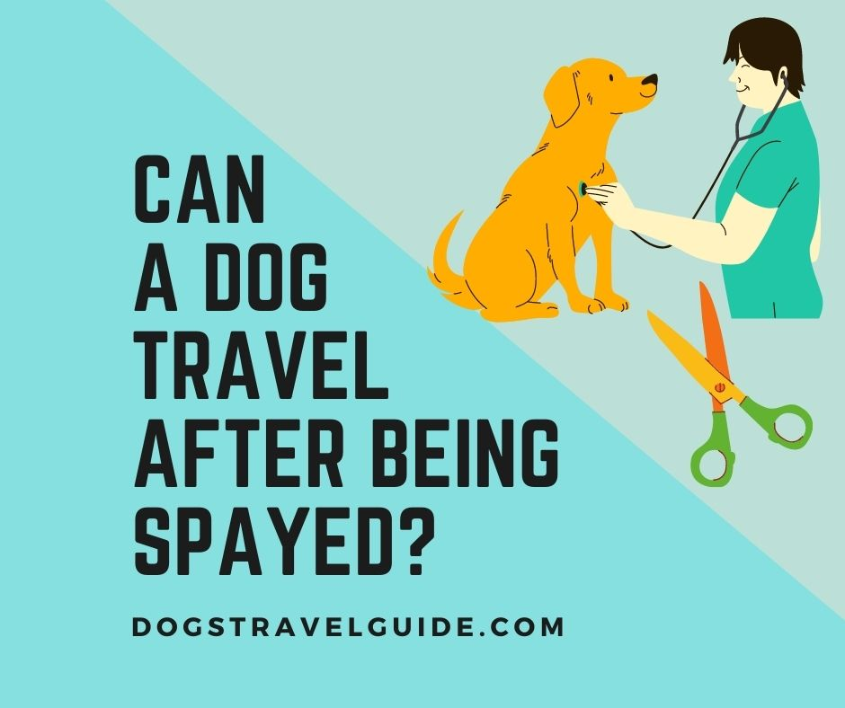 Can a dog travel after being spayed?